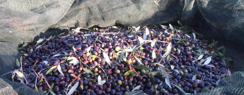 Raccolta delle olive in Abruzzo